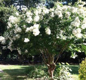 crepe myrtle in full bloom